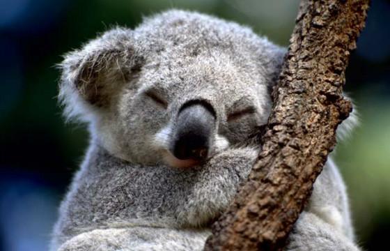 Около 20 часов в сутки тратит коала на отдых и сон
