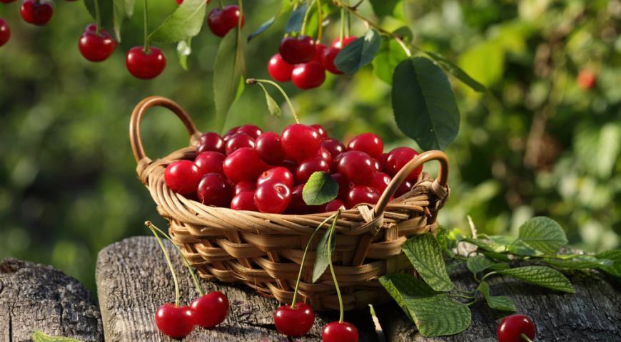 Как получить большой урожай вишни