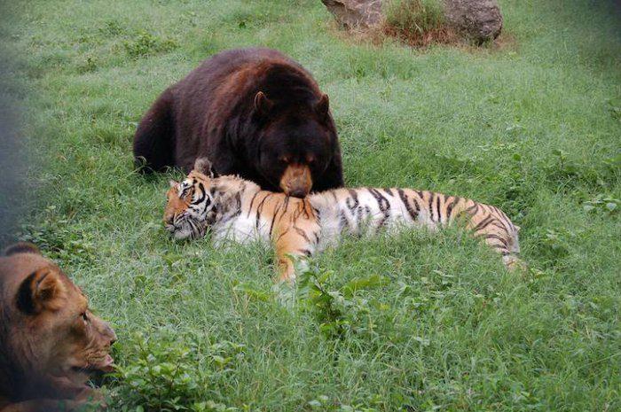 льва и тигра фото