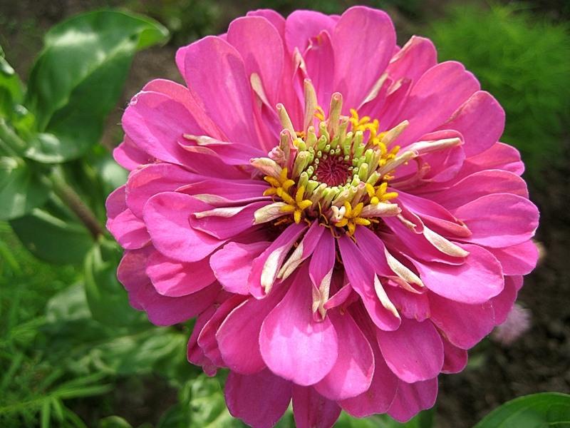 Розовая красавица.. ))