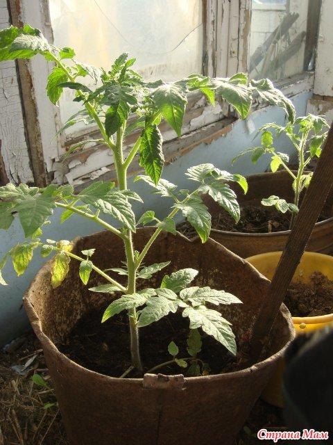 Выращивание томатов в ведрах