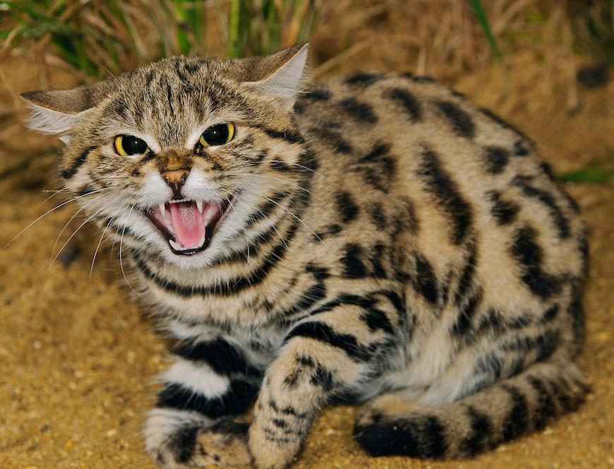 15 великолепных диких котов, о которых вы почти наверняка не слышали