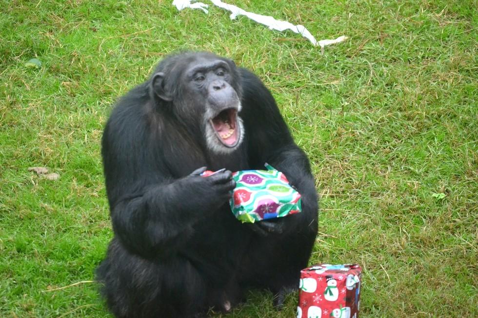Эти спасенные шимпанзе каждый год сходят с ума от подарков