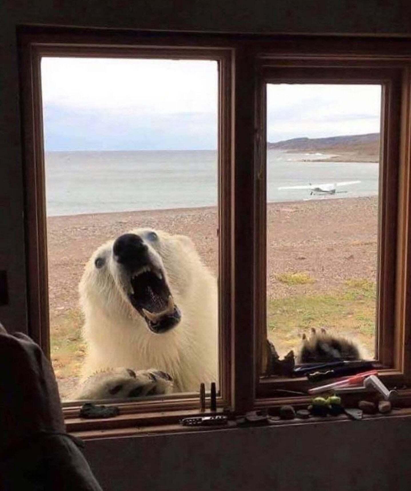 белый медведь что делать