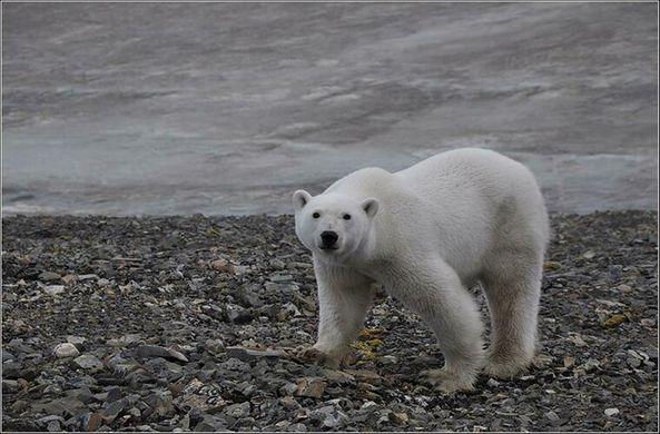 Белые медведи заполонили архипелаг Новая земля