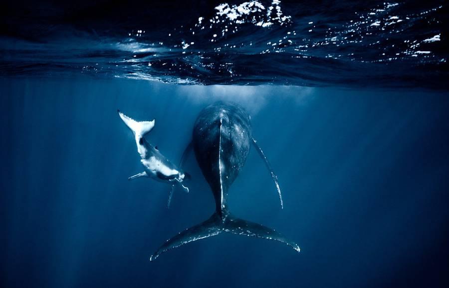 Редкие кадры: новорожденные киты в водах Тихого океана