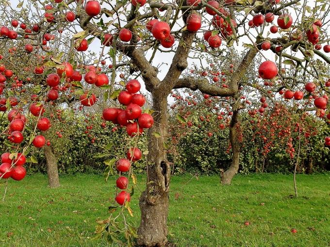 Утепление плодовых деревьев на зиму