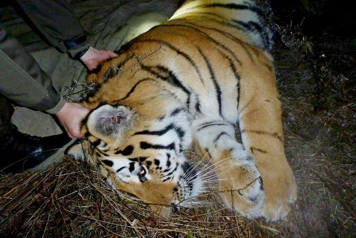 Еще одного амурского тигра поймали в Приморье