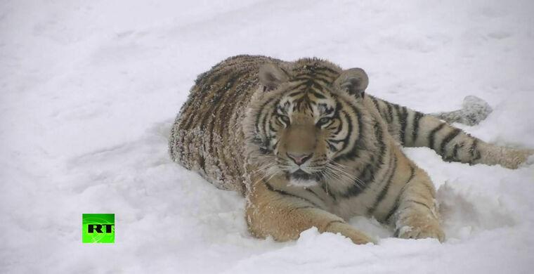 В Китае тигры превратились в упитанных котиков