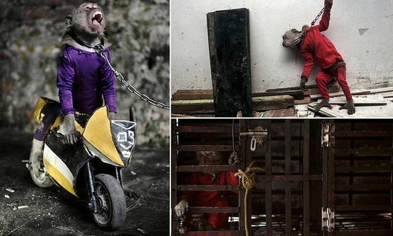 На потеху публике: как обращаются с уличными обезьянками в Индонезии (14 фото)