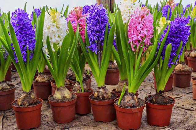 Зимою – лето. Как вырастить дома садовые цветы