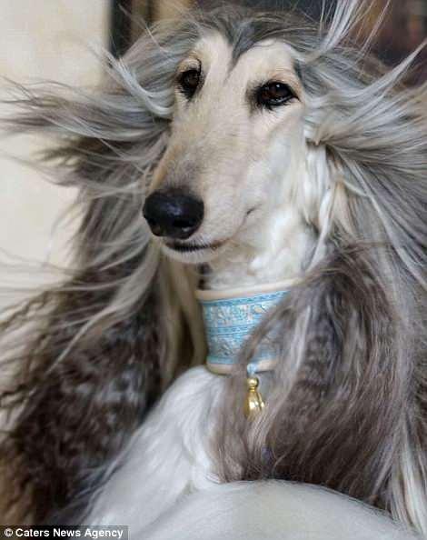 У этой собаки прическа лучше, чем у большинства людей