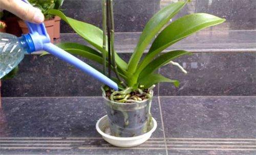 САД, ЦВЕТНИК И ОГОРОД. Как правильно поливать орхидеи