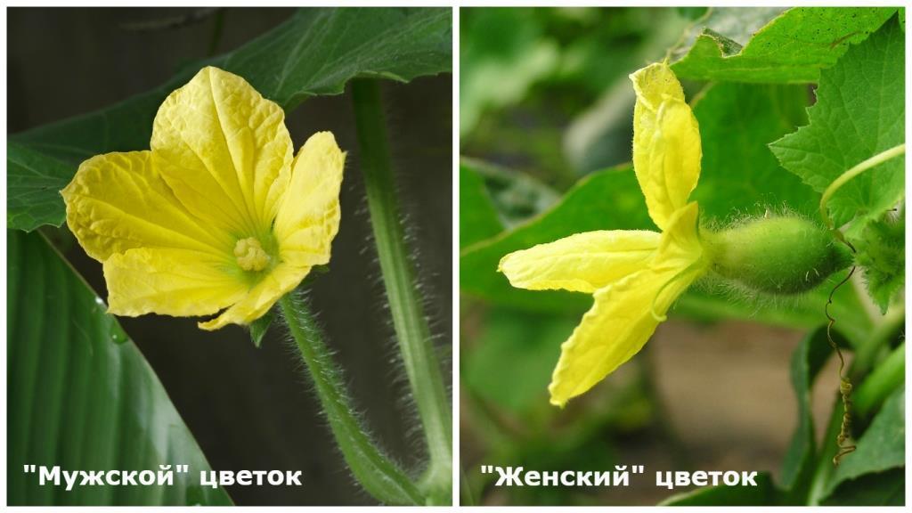 белье почему цветки арбуза не дает завязи белье