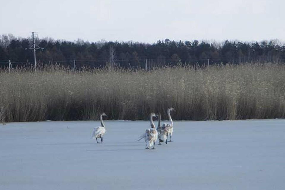 Под Омском спасли замерзавших лебедей