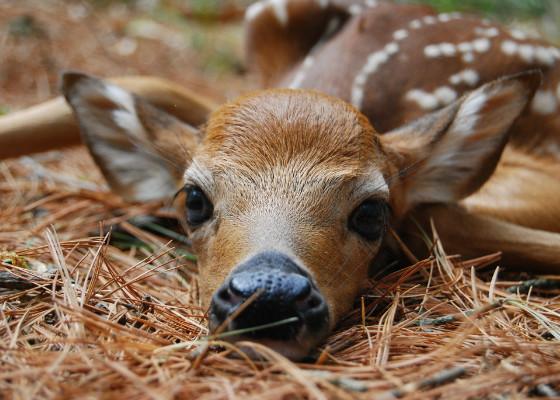 Новорожденный олененок весит около пятнадцати килограмм.
