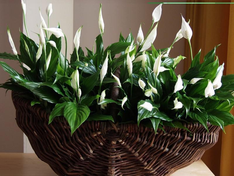 Почему у спатифиллума зеленеют цветы? Все болезни растения