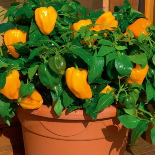 Дрожжи, сода и горчица — огород преобразится!