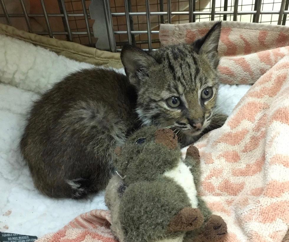 Беспризорный «котенок», спасенный на шоссе, оказался с сюрпризом