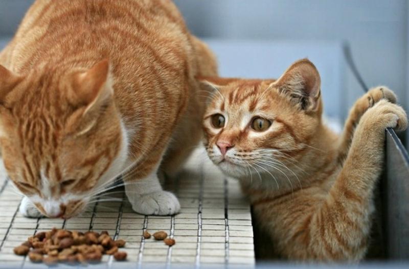 чем кормить кота