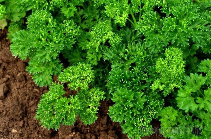 Секреты успешного выращивания петрушки и  укропа