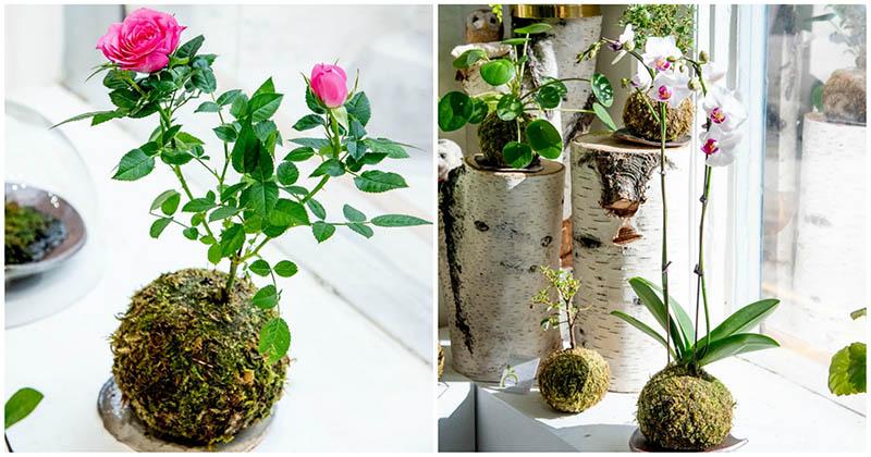 Кокедама — японская техника выращивания комнатных цветов