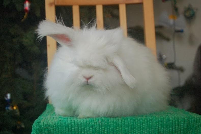 ангора-кролик-13
