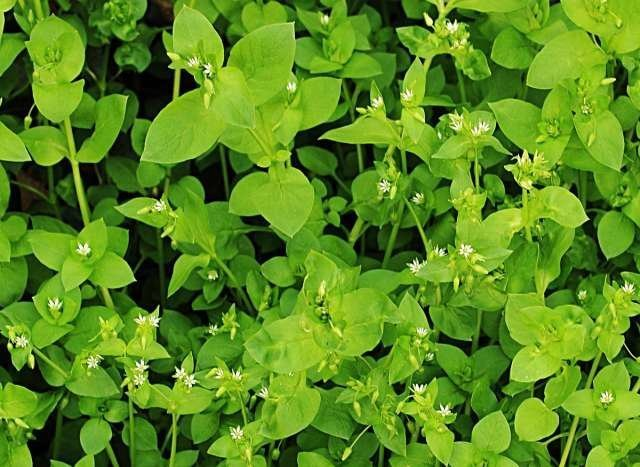 Звездчатка средняя (мокрица) - листья съедобны, употребляются в салатах выживание, интересное, растения, съедобные