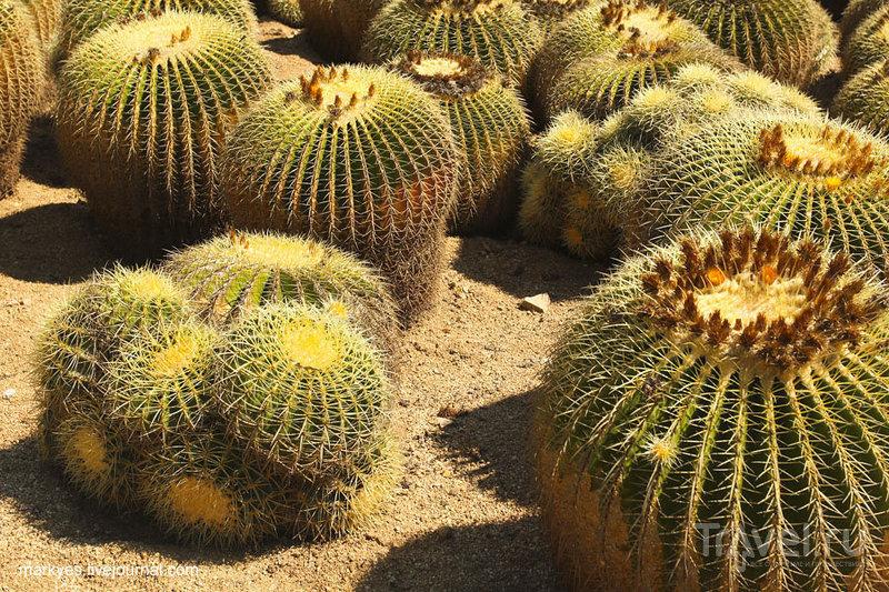 Индейская фига или любовь к кактусам