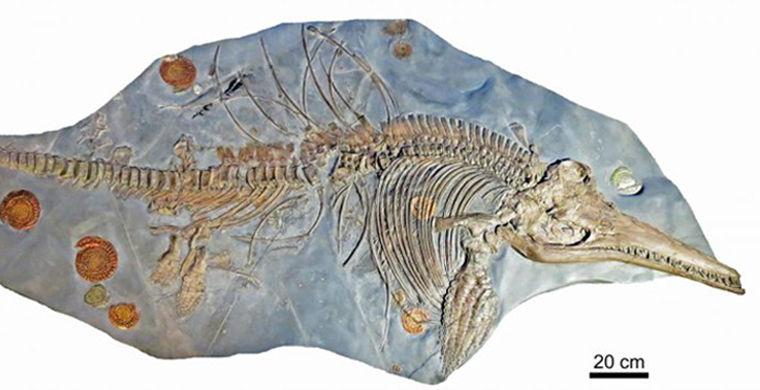 Палеонтологи нашли в останках ихтиозавра эмбрион детеныша