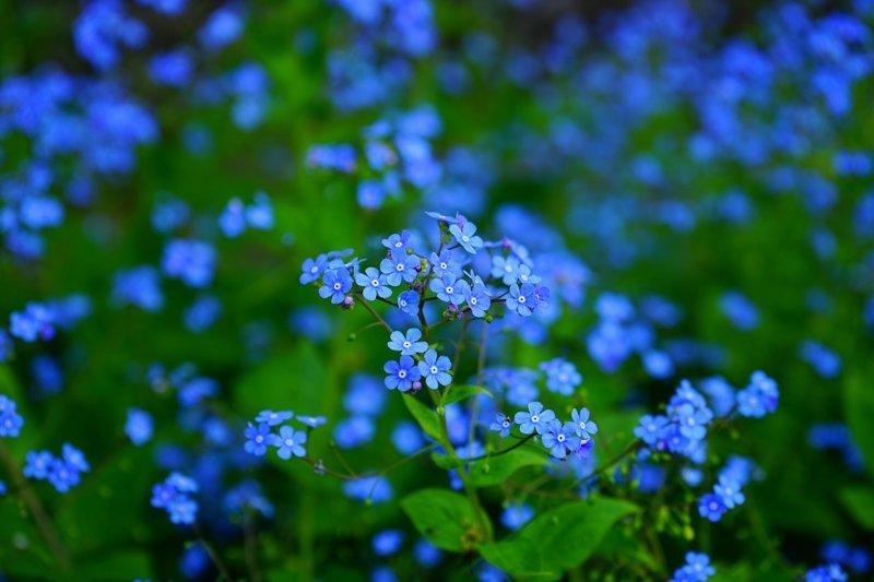 Незабудки - съедобна вся наземная часть растения выживание, интересное, растения, съедобные
