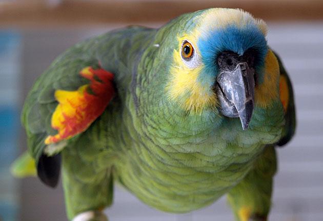 Скажите, как заткнуть Гришу? Как наш разговорчивый попугай чуть свекровь до инфаркта не довел!