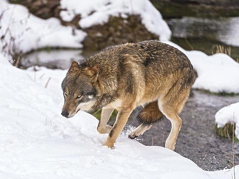 Из практики охоты на волка
