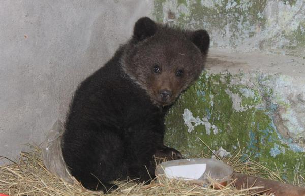 Жители Омской области приютили истощённого медвежонка