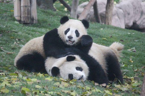 Китайских панд разнимали яблоками