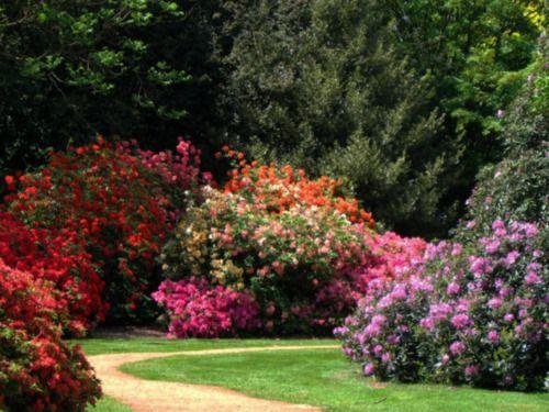 """Цветущие многолетние кустарники или как создать """"сад мечты"""""""