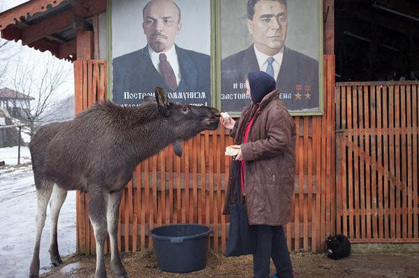 Гришка почти как собака, ну только очень большая и добрая собака беларусы, доброта, лось