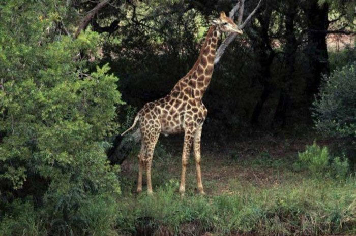 Цена крупного плана: в ЮАР жираф убил кинорежиссера