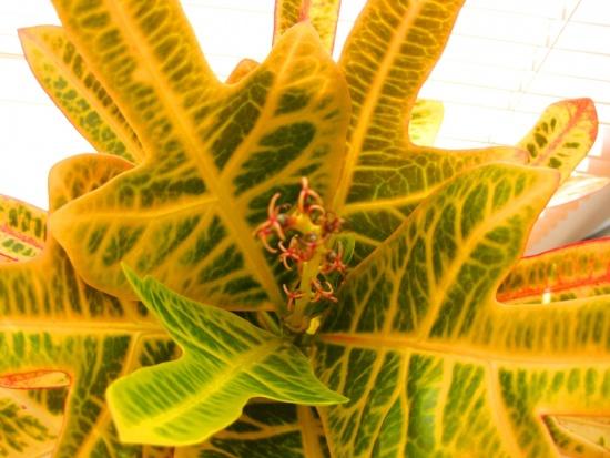 Цветение кротона, веточка - комнатные растения и цветы