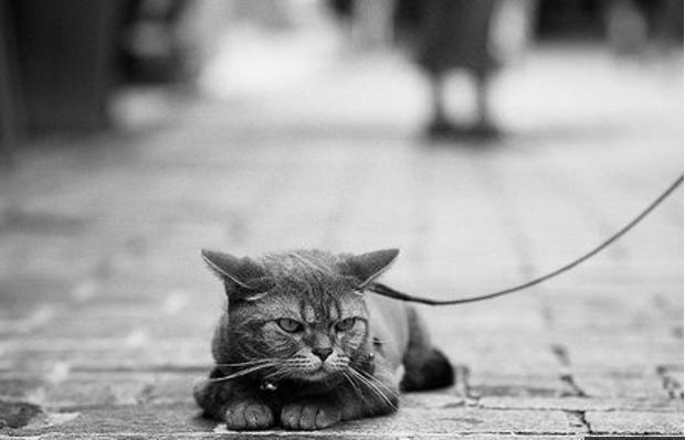 Нужно ли выгуливать кошек на поводке: мнение американских ученых
