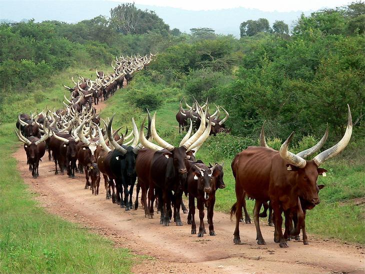 Национальные парки. 12 фактов об Уганде - жемчужине Африки. Фото с сайта NewPix.ru