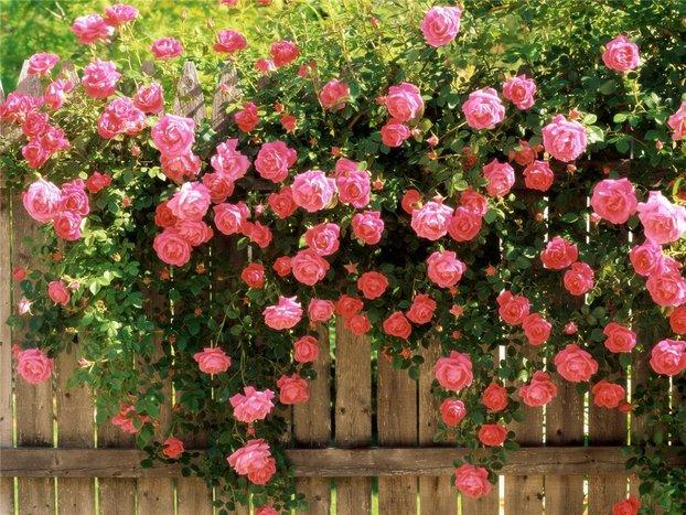 Плетистые розы в саду: посадка, выращивание, укрытие на зиму