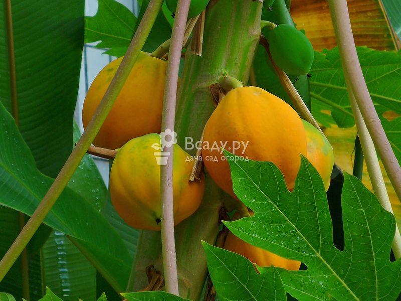 Плодоносящая папайя в комнатных условиях