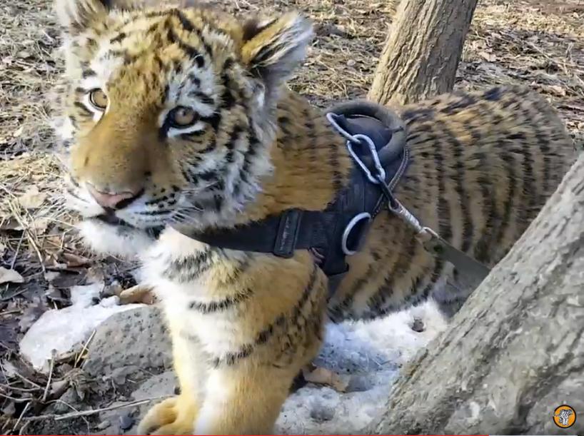 18 марта Шерхану из Приморского сафари-парка исполнилось полгода