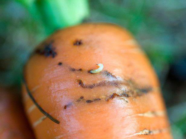 Что делать с морковью, в которой морковная муха?