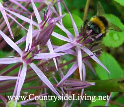 Аллиум (алиум, декоративный лук) - отличный медонос. Пчела на луке Христофора (Allium cristophii)