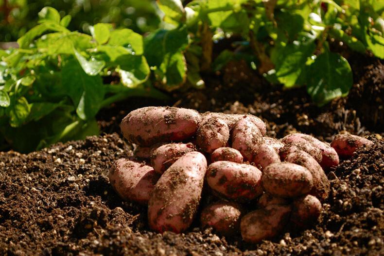 А не посадить ли картошку под зиму для супер-раннего урожая?