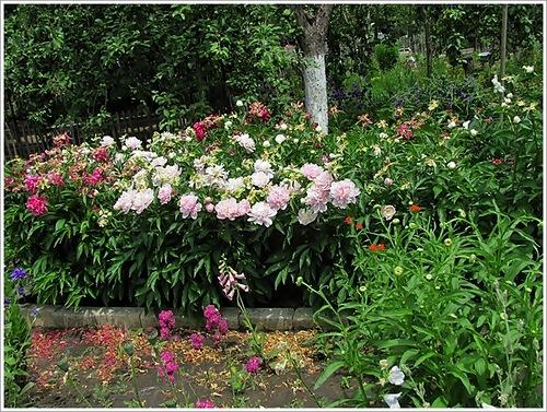 Уход за пионами по окончании цветения