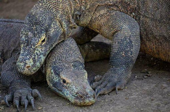 В Национальном парке Комодо запечатлели удивительную битву варанов