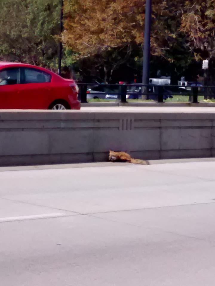 Сбитый на шоссе лис очень боялся людей.... но ему всё же помогли